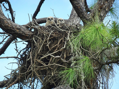 12_30_20 Baby Great Horned Owls in an Osprey nest