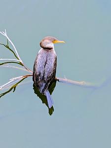 12_14_20 Cormorant resting Isla Del Sol