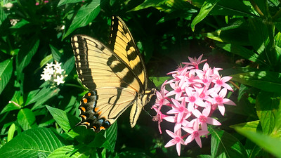 12_2_20 Eastern Tiger Swallowtail Butterfly on Pentas