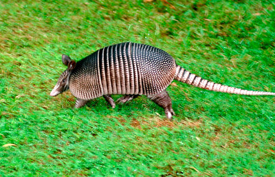 12_3_20 Golf course Armadillo