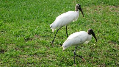 2_25_20 Wood Storks