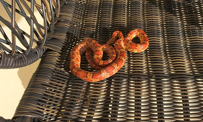 2_21_20 Snake Under Cushion After The Rain