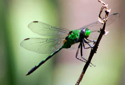 2_4_20 Bright Green Dragonfly