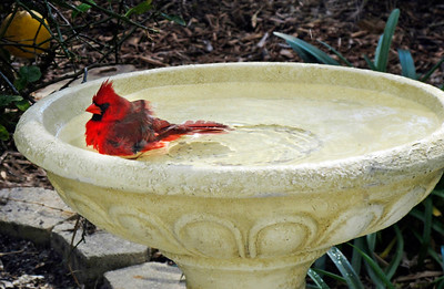1_23_20 Cardinal In Bird Bath