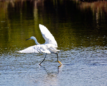 1_25_20 Snowy Egret Taking Off