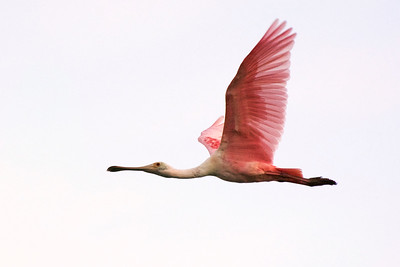 1_21_20 Roseate Spoonbill in flight