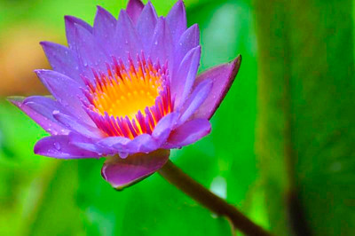 1_17_20 Water Lily