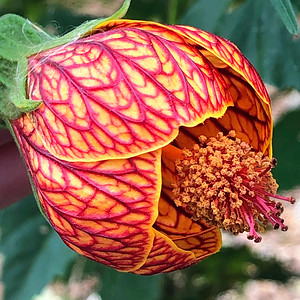 1_5_20 Red Vein Chinese Lantern