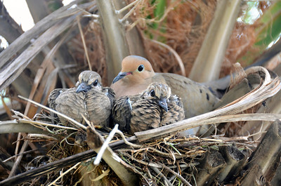 1_15_20 Doves Nesting in Palm Tree