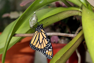 1_27_20 Monarch Butterfly on orchid