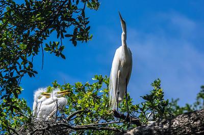 7_5_20 Egrets