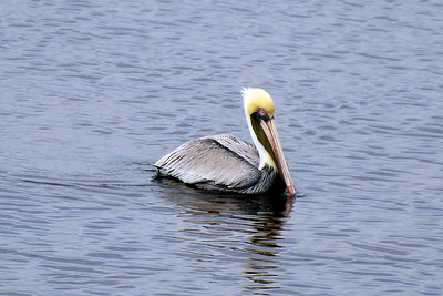 7_1_20 Pelican Resting in the Gulf