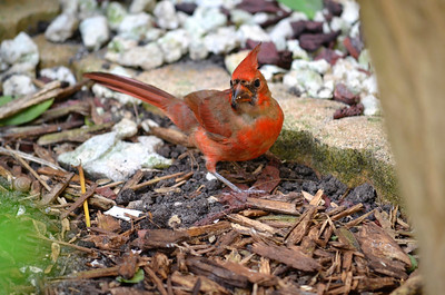 7_18_20 Young Cardinal getting it's male plumage