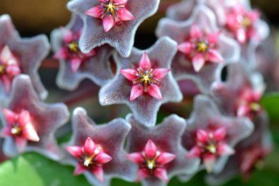 7_19_20 Hoya flower
