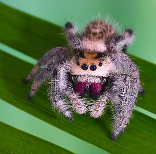 7_26_20 Jumping Spider