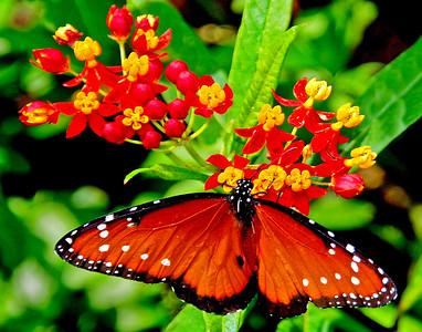 7_23_20 Queen Butterfly