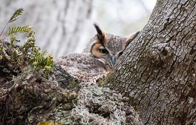 7_15_20 Mom owl sitting on the nest