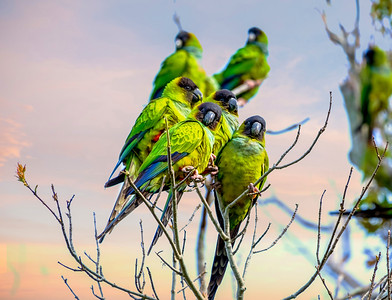 7_12_20 Wild Green Parrots