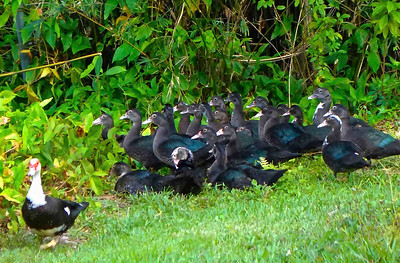 7_22_20 Muscovy Mom has 24 young