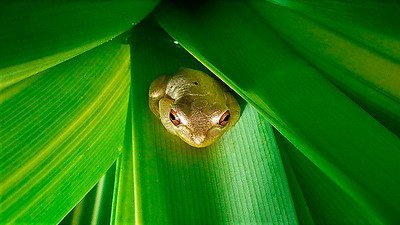 7_14_20 Squirrel Tree Frog hiding in leafy plant