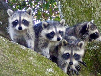 6_25_20 Raccoons