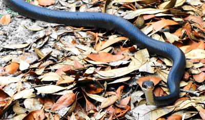 6_18_20 Resident Black Snake