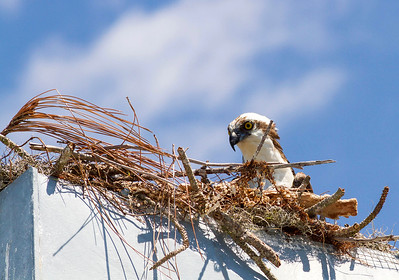 6_15_20 Pair of Ospreys on my chimney