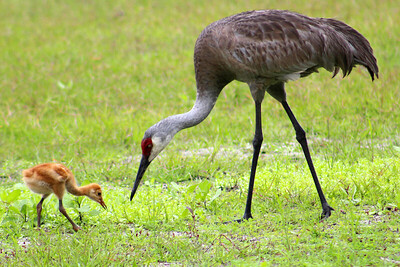 6_27_20 Sand Hill Crane and chick