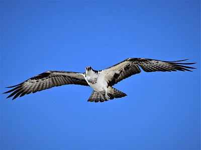 6_10_20 Osprey