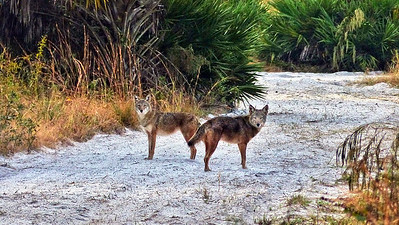 6_23_20 Wary Coyotes