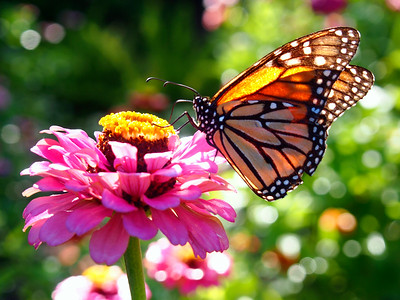 3_14_20 Monarch Unfurls Proboscis for Feeding