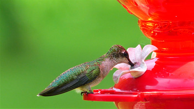 3_16_20 Female Ruby-Throated Hummingbird Feeding