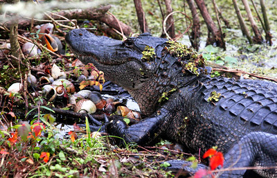 3_6_20 Decorated Gator