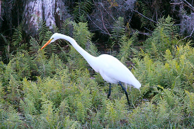 3_5_20 Common Egret at Sunset
