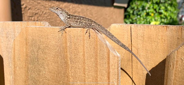 3_17_20 Brown Anole