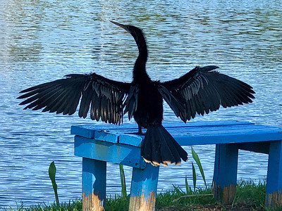 3_25_20 Neighborhood Anhinga