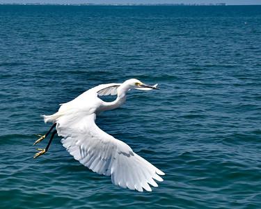 5_22_20 Snowy Egret In Flight