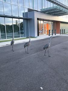 5_12_20 Cranes in line waiting for doors to open