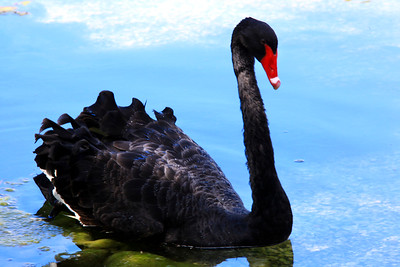 5_17_20 Beautiful Black Swan