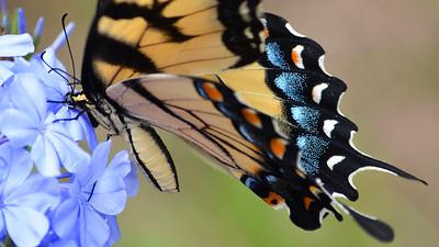 11_20_20 Eastern Tiger Swallowtail on Blue Daze