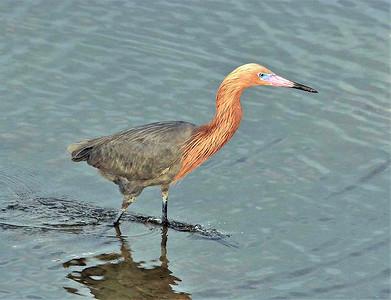11_25_20 Reddish Egret