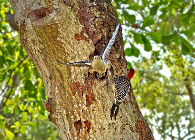 11_21_20 Shift change for this pair of Red-bellied Woodpeckers