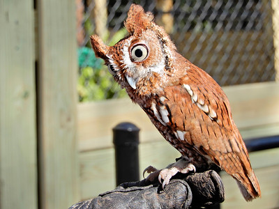 11_29_20 Bright eyed owl