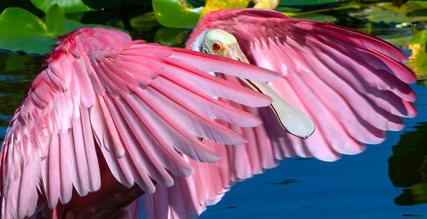 11_26_20 Safety Harbor Roseate Spoonbill