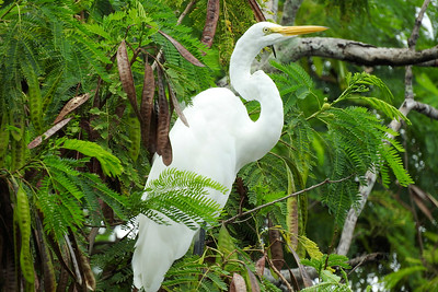 10_18_20 Great Egret