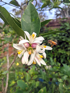 10_3_20 Busy Bee & Meyer lemon tree