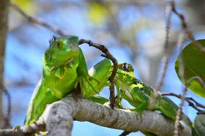 10_14_20 Invasive Green Iguana being bullied from behind by invasive Cuban Knight anole