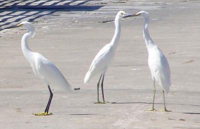 10_2_20 Snowy Egrets