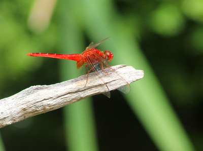 10_16_20 Chocothemis Erythraea, The Scarlet Dragonfly