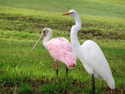 9_20_20 Roseate Spoonbill & White Egret